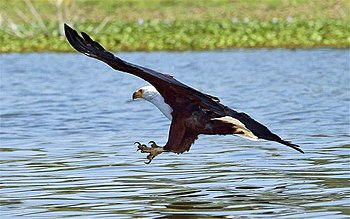 An African Fish Eagle about to catch a fish in...