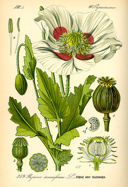 File:Illustration Papaver somniferum0.jpg
