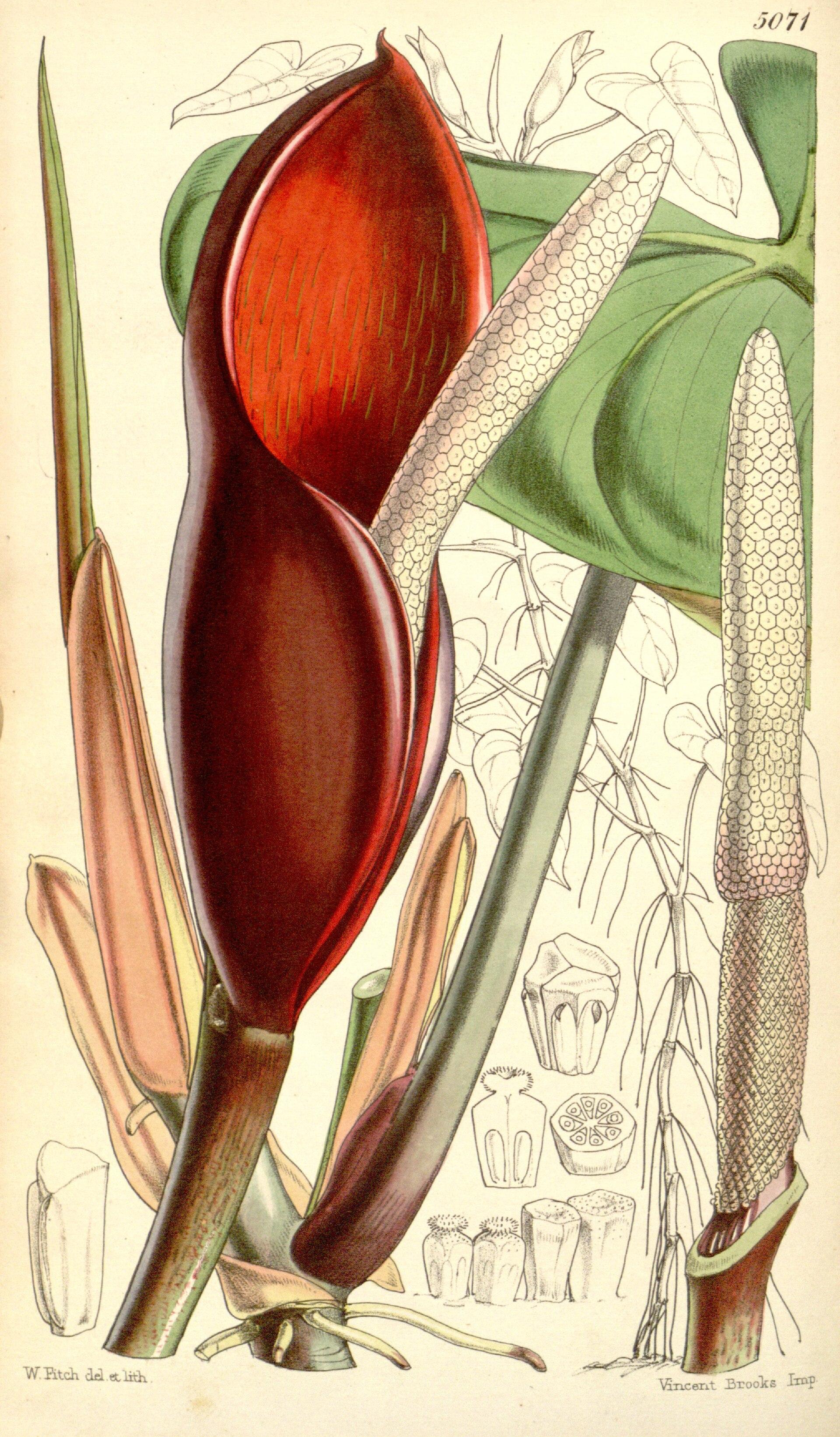 Species Rainforest Plant