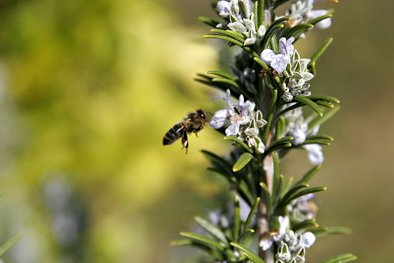 File:Rosemary with bee landing.jpg