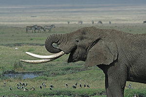 An elephant in the Ngorongoro crater, Tanzania