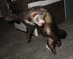 English: This is Vinnie the Ferret in the midd...