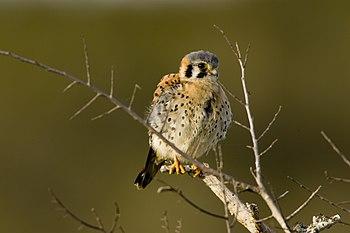 English: A young American Kestrel (Falco sparv...