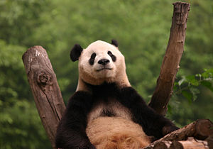 English: Giant Panda at the Beijing Zoo in Beijing