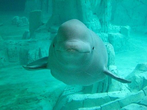 Beluga oceanografic