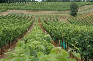 Cahors Vineyard