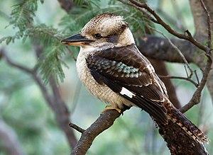 Laughing Kookaburra (Dacelo novaeguineae) perc...