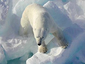 A male polar bear