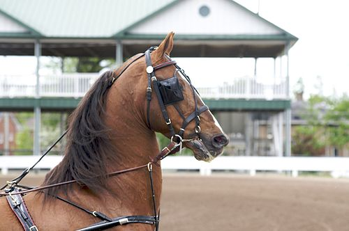 https://i2.wp.com/upload.wikimedia.org/wikipedia/commons/thumb/1/19/Saddlebred_Stallion_in_Harness.jpg/500px-Saddlebred_Stallion_in_Harness.jpg