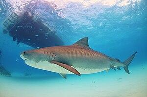 English: tiger shark bahamas