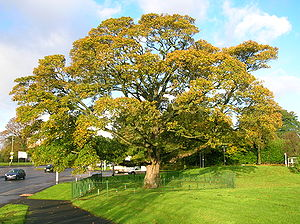 English: The Darnley Sycamore or Plane Tree. M...
