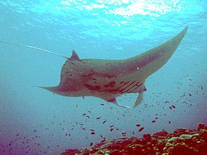 English: Manta Ray off Ishigaki Island in Sept...