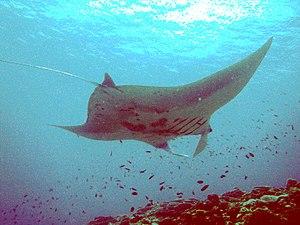 English: Manta Ray off Ishigaki Island in Sept...