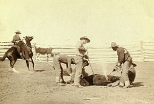 Cowboys branding a calf in fenced area. South Dakota