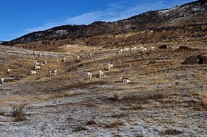 English: Pronghorn Antelope Herd, Yellowstone ...