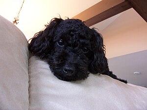 English: black poodle Français : caniche noir