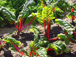 Red Chard growing in the garden of Slow Food N...