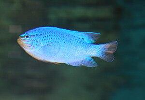 English: The blue damselfish, sapphire devil, ...
