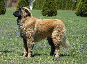 English: Estrela Mountain Dog. 6 month old faw...