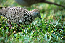 The Zebra Dove has been widely introduced around the world.