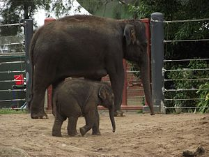 English: Baby elephant Mali and other at Melbo...