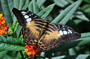 English: Clipper (Parthenos sylvia) in the Wil...