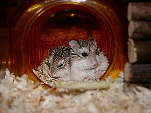 English: Two Roborovski Hamsters sleeping toge...
