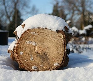 Log of a Spruce tree on end showing ring detai...