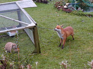 English: An urban fox in a garden in Birmingha...