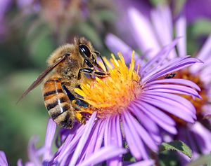 A European honey bee (Apis mellifera) extracts...