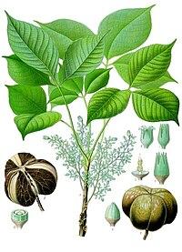 Cây cao su (Hevea brasiliensis)