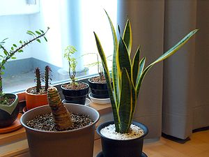 English: Potted House plants.