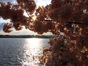 The 2006 Cherry Blossoms in Washington D.C., USA.