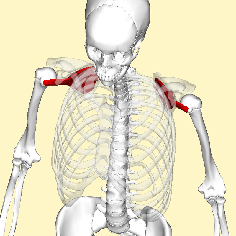 https://i2.wp.com/upload.wikimedia.org/wikipedia/commons/thumb/1/1d/Subscapularis_muscle_top2.png/800px-Subscapularis_muscle_top2.png