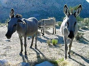 English: wild burros.