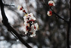 English: Flowers of Apricot at the rain ( , Du...