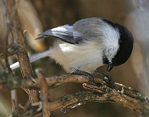Black-capped Chickadees (Poecile atricapillus)...
