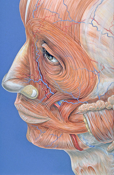 Archivo:Facial muscles.jpg