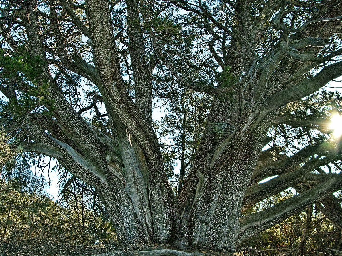 Juniperus Deppeana Wikimedia Commons