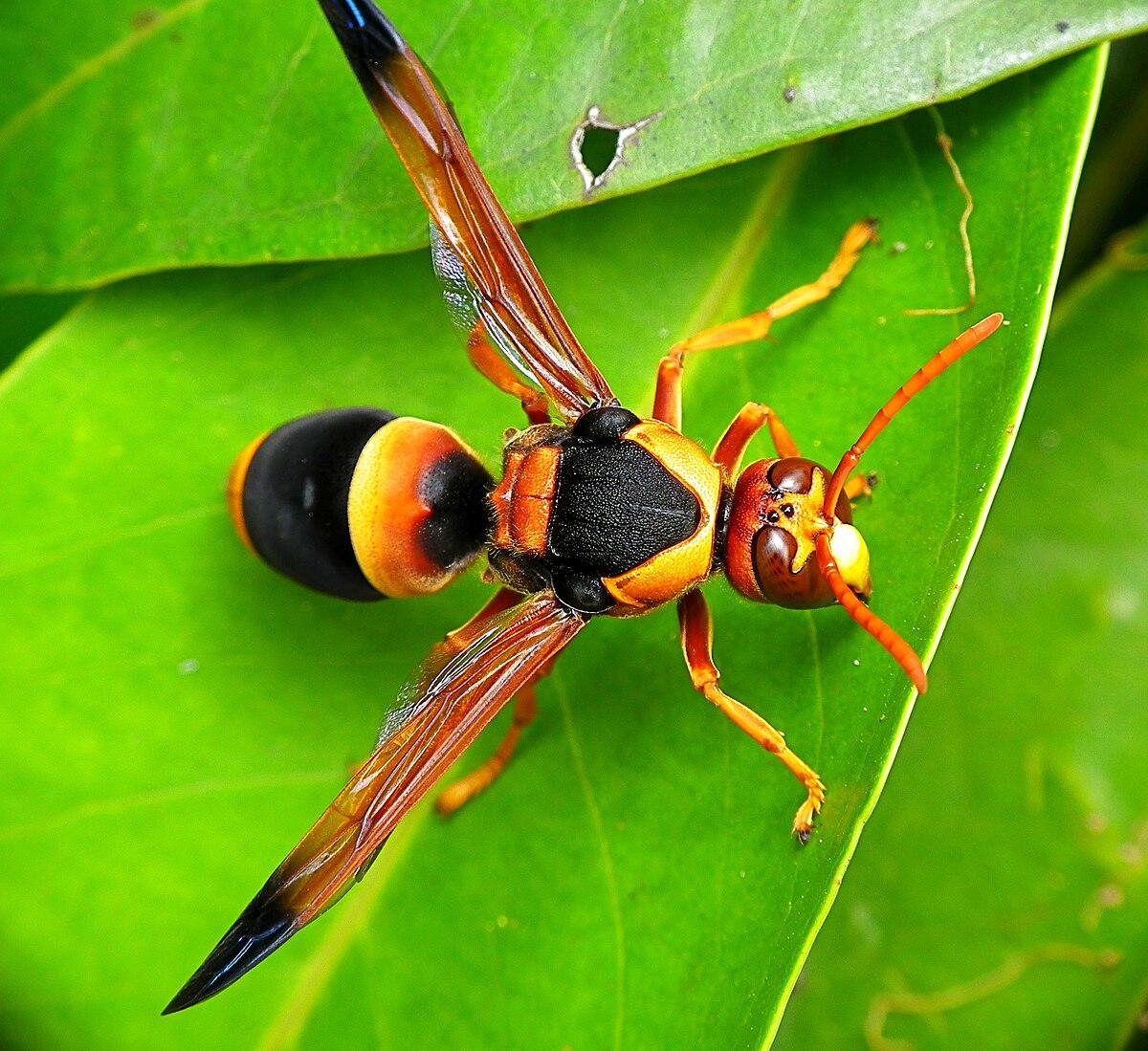 Largest Tarantula Species