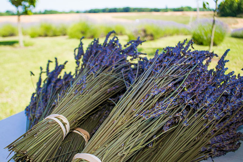 File:Lavender-3.jpg