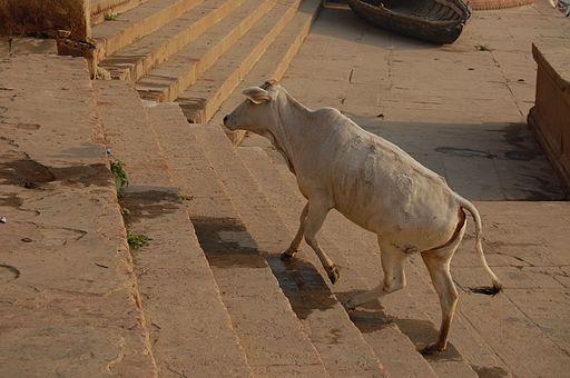 Varanasi cow on ghat stairs