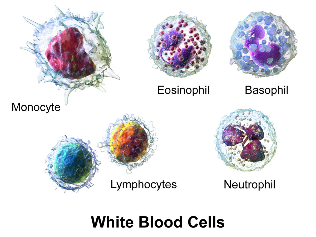 Basophil White Blood Cell Diagram Labeled Cells