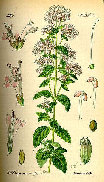 File:Illustration Origanum vulgare0.jpg