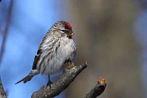 English: Common Redpoll (Carduelis flammea), f...