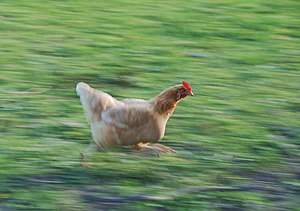 English: A chicken running Français : Un poule...