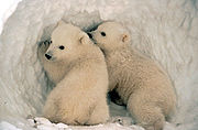 polar bear kids