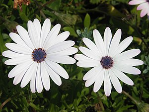 White flowers of Osteospermum ecklonis