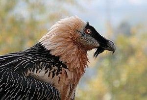 Description: The Lammergeier or Bearded Vultur...
