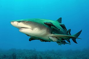 English: Lemonshark